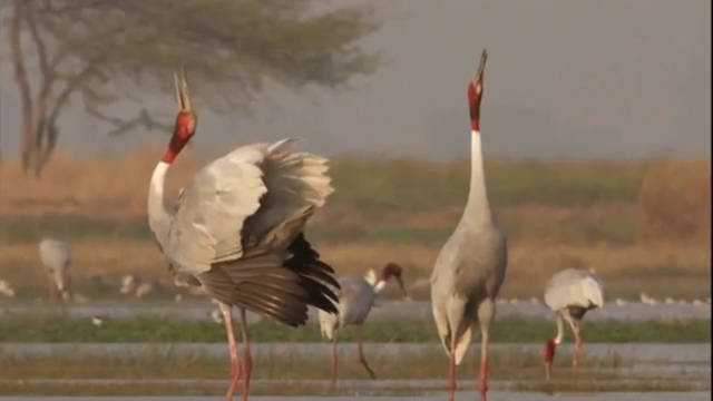 Mating Dance of Sarus Cranes