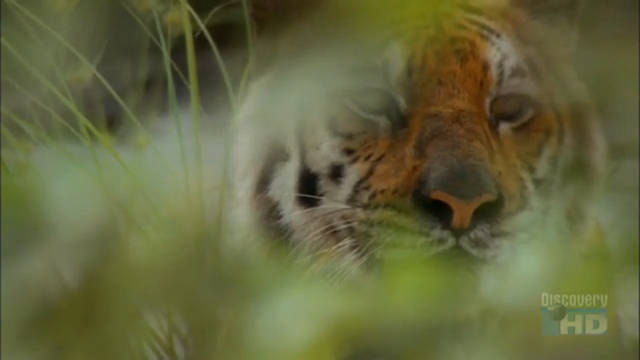 A Tigress in the Bush