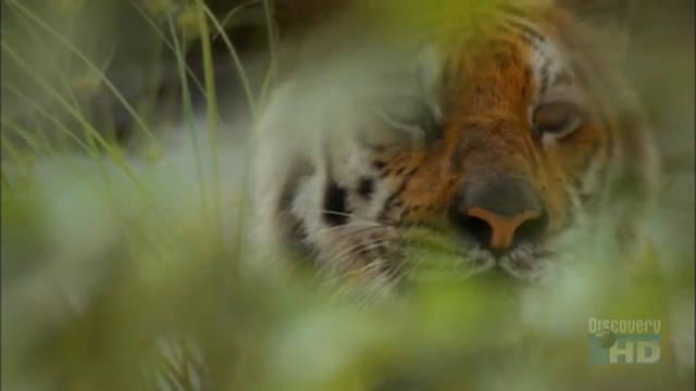 A Tigress in the Bush